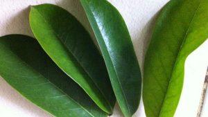 Spesifikasi daun sirsak untuk bahan baku herbal