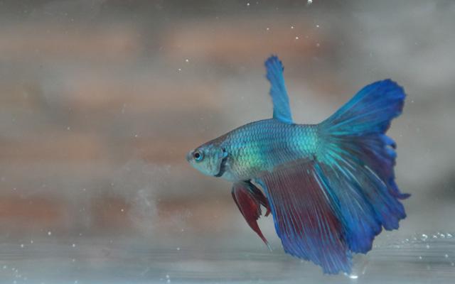 Cara Praktis Budidaya Ikan Cupang Alam Tani