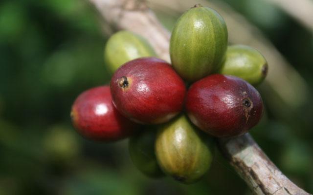 Jenis dan karakteristik kopi robusta