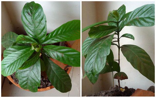 Perbanyakan bibit pohon kopi dengan setek