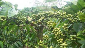 Cara memperbanyak tanaman kopi dengan benih