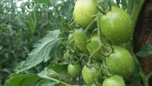 Panduan umum budidaya tomat
