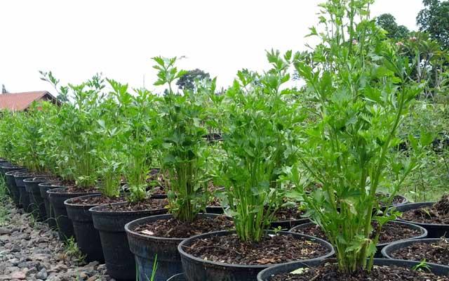Budidaya seledri organik dalam pot