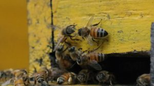 Jenis-jenis lebah madu