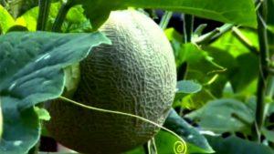 Panduan praktis budidaya melon