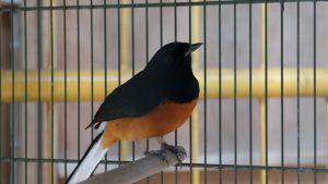 Burung murai batu primadona kontes berkicau