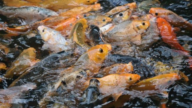 Panduan Lengkap Budidaya Ikan Mas Alam Tani