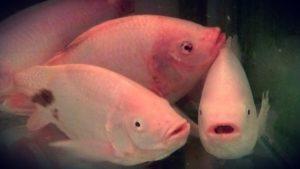 Jenis-jenis ikan air tawar
