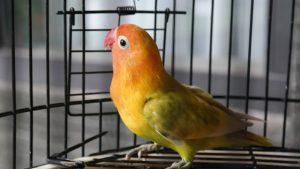 Mengenal jenis burung lovebird
