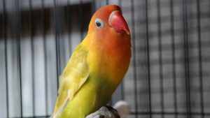 Panduan cara merawat lovebird