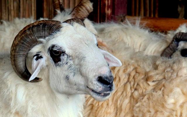 8400 Gambar Hewan Domba Hitam Putih HD Terbaik
