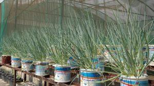 Cara menanam bawang daun dalam pot