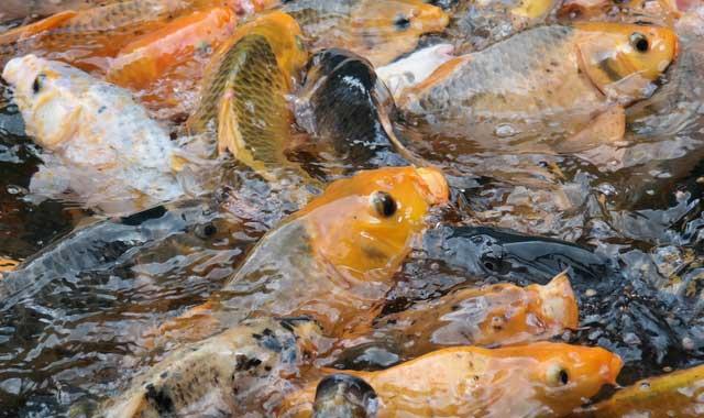 Hama Dan Penyakit Ikan Mas Alam Tani