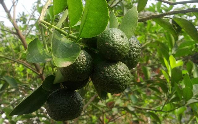 Manfaat vitamin yang terdapat dalam jeruk nipis