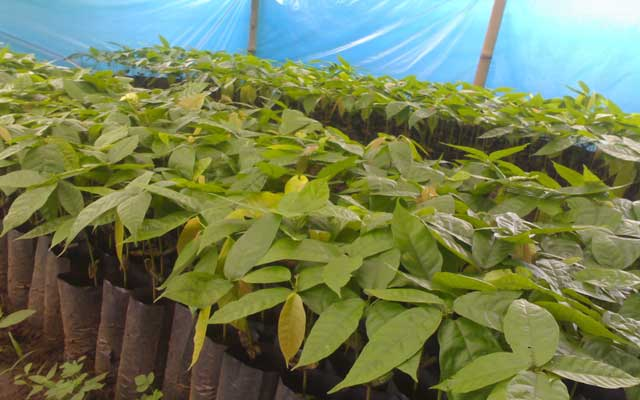 Teknik pembibitan kakao secara generatif