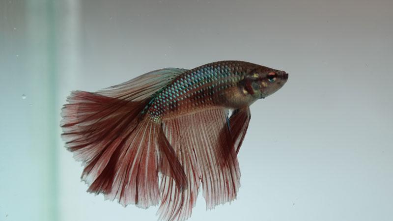 66+ Gambar Ikan Cupang Jenis Bangkok HD Terbaik