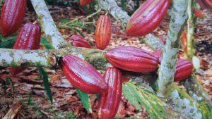 Sambung samping tanaman kakao