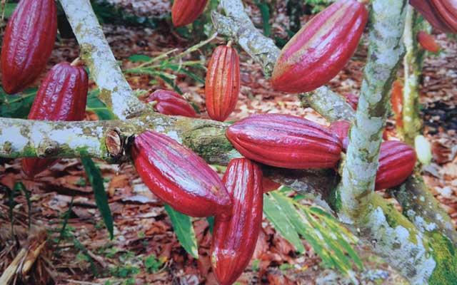 Teknik sambung samping tanaman kakao - ALAM TANI