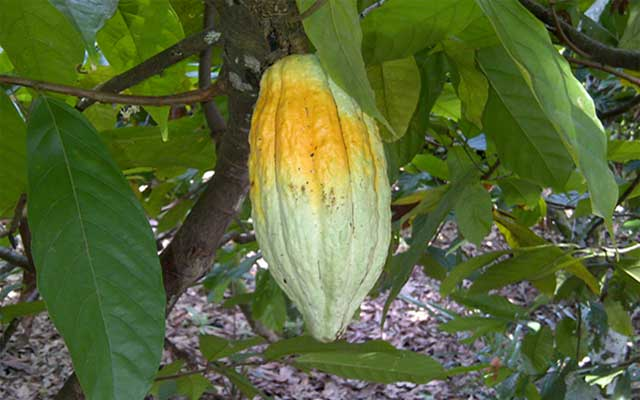 Pengendalian hama penggerek buah kakao