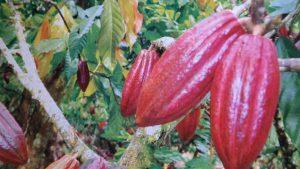 Teknik pengolahan pasca panen biji kakao