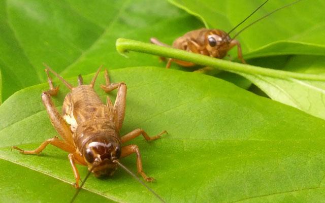 Cara Ternak Jangkrik Yang Efektif Alam Tani