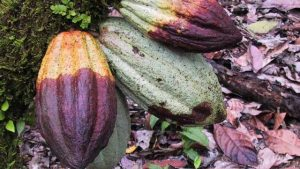 Pengendalian penyakit busuk buah kakao