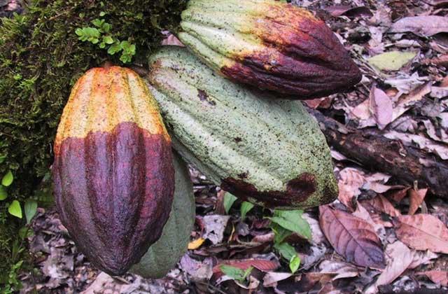 https://alamtani.com/wp-content/uploads/2015/02/busuk-buah-kakao.jpg