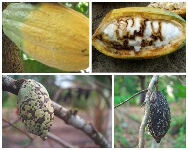 Pengendalian hama penghisap buah kakao