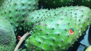 Manfaat buah sirsak bagi kesehatan
