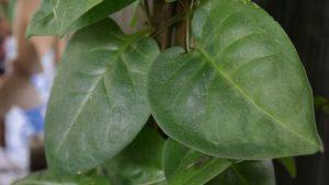 Manfaat daun binahong sebagai obat