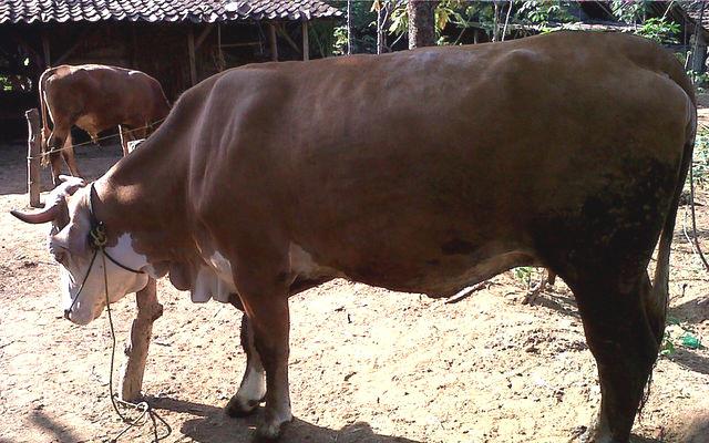 Panduan umum ternak sapi potong