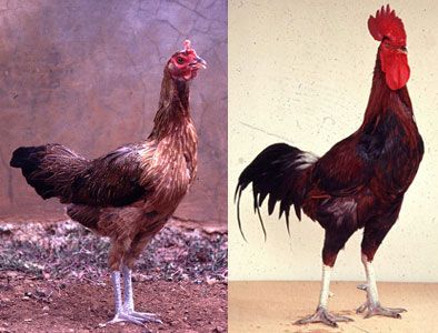 Mengenal jenis-jenis ayam buras