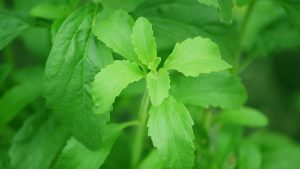Daun stevia pengganti gula