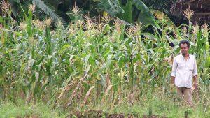 Cara menanam jagung tanpa olah tanah