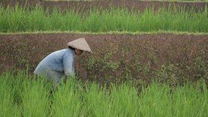 Jarwo super bisa dongkrak panen padi hingga 14 ton per hektar
