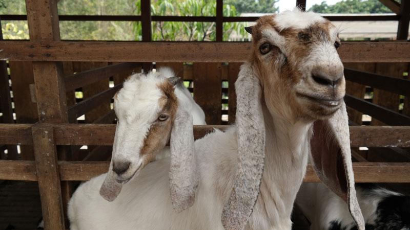 Jenis-jenis kambing