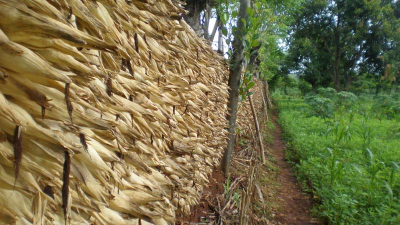 Pengeringan jagung