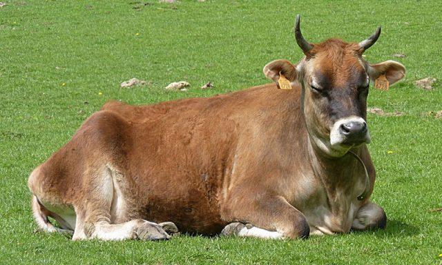 Mengenal jenis-jenis sapi perah